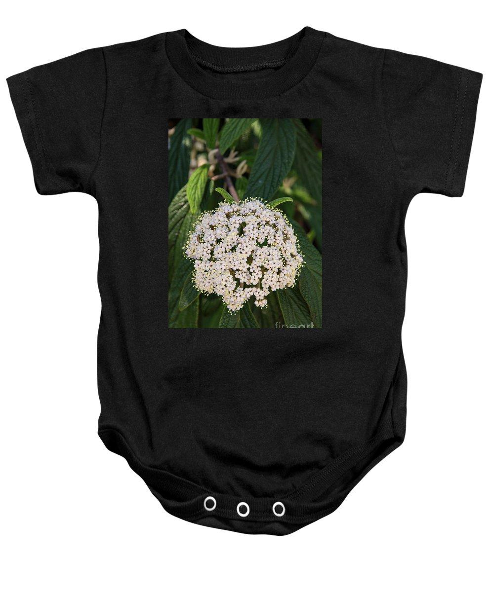 Hagerstown Maryland Leatherleaf Viburnum Bloom Blooms Nature City Park Parks Flower Flowers Nature Baby Onesie featuring the photograph Leatherleaf Viburnum by Bob Phillips