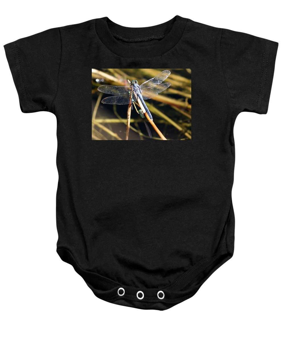 Dragonflies Baby Onesie featuring the photograph Three Dragonflies On One Reed by Carol Groenen