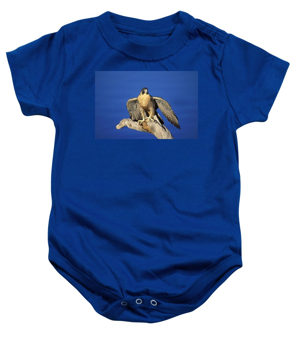 Animal Baby Onesie featuring the photograph Peregrine Falcon On Perch by John Pitcher