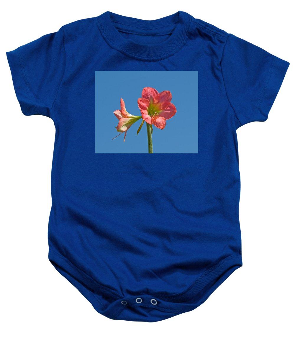 Hippeastrum; Amaryllidaceae; Belladonna; Lily; Amaryllis; Flower; Flowering; Plant; Bulb; Pot; Garde Baby Onesie featuring the photograph Pink Amaryllis Flowering In Spring by Allan Hughes