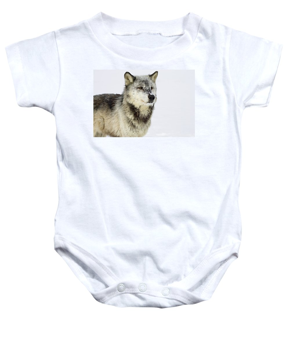 Wolf Baby Onesie featuring the photograph Attentive by Jack Milchanowski