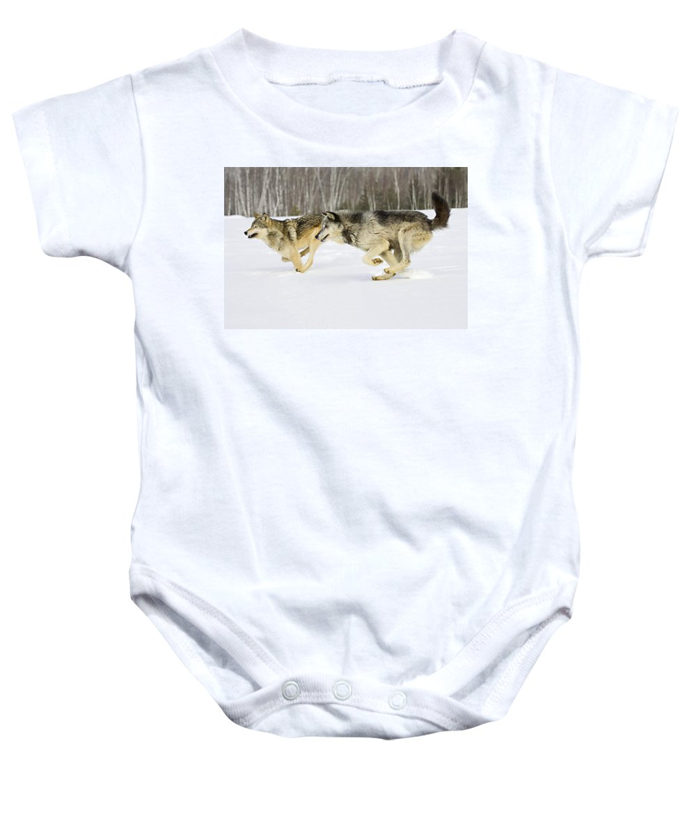 Wolf Baby Onesie featuring the photograph Competing by Jack Milchanowski