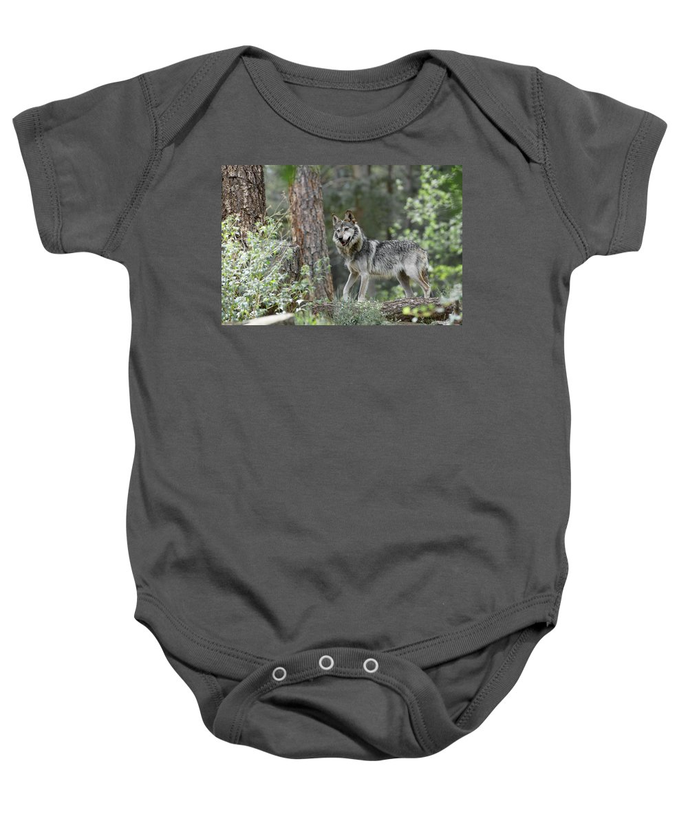 Wolf Baby Onesie featuring the photograph Mexican Grey Wolf 1 by Ernie Echols