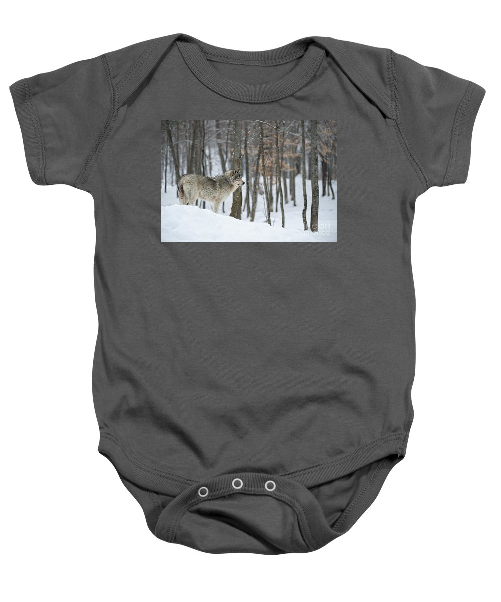 Timber Wolf Photography Baby Onesie featuring the photograph Timber Wolf In Winter by Wolves Only