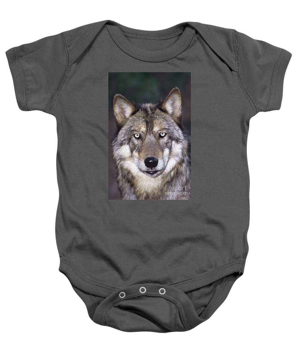 Gray Wolf Baby Onesie featuring the photograph Gray Wolf Portrait Endangered Species Wildlife Rescue by Dave Welling