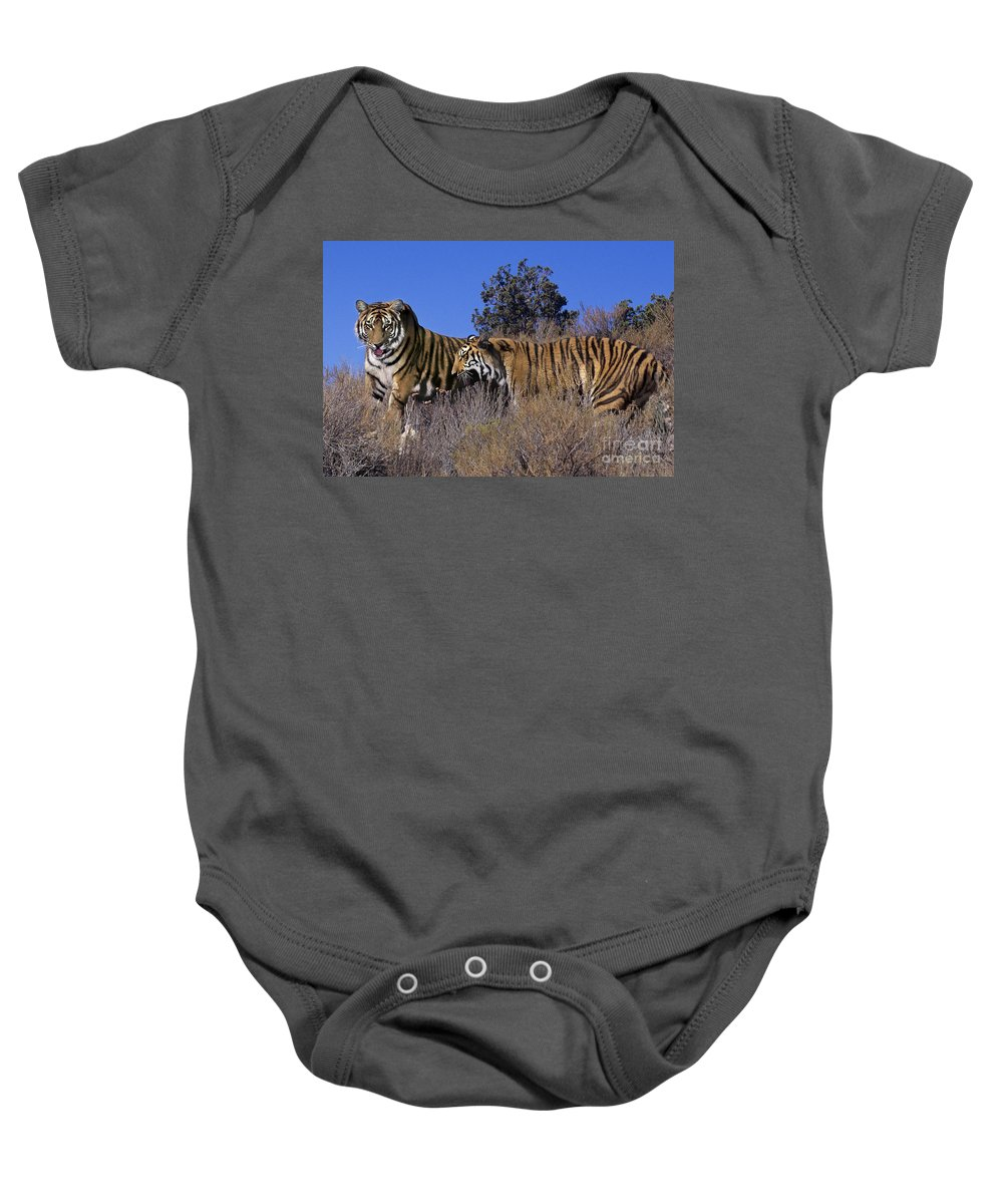Bengal Tigers Baby Onesie featuring the photograph Bengal Tigers On A Grassy Hillside Endangered Species Wildlife Rescue by Dave Welling