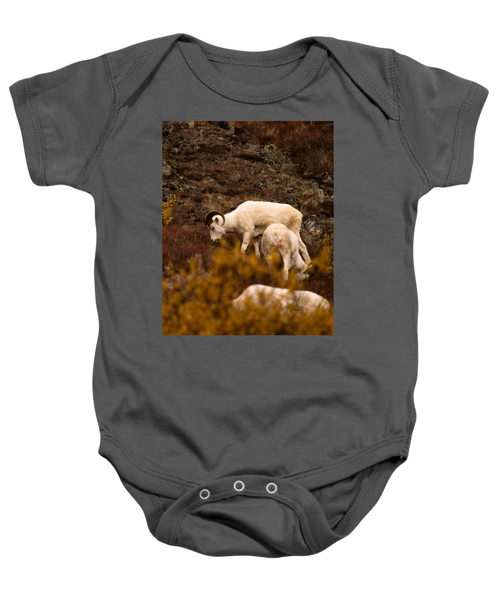 Dall Sheep Baby Onesie featuring the photograph Dall Sheep Grazing by Jeff Folger