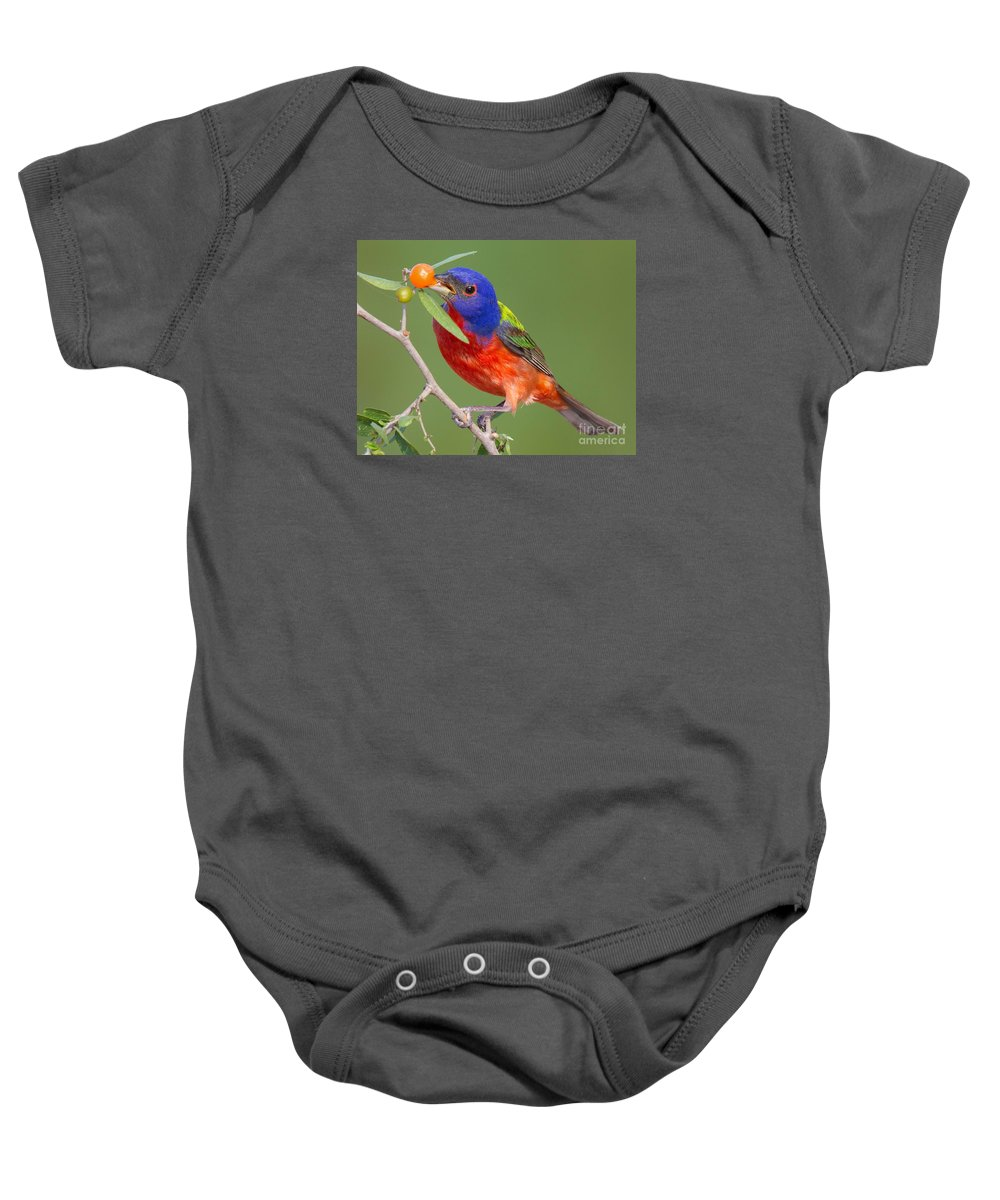 Painted Bunting Baby Onesie featuring the photograph Painted Bunting Eating Granjeno Berry by Jerry Fornarotto