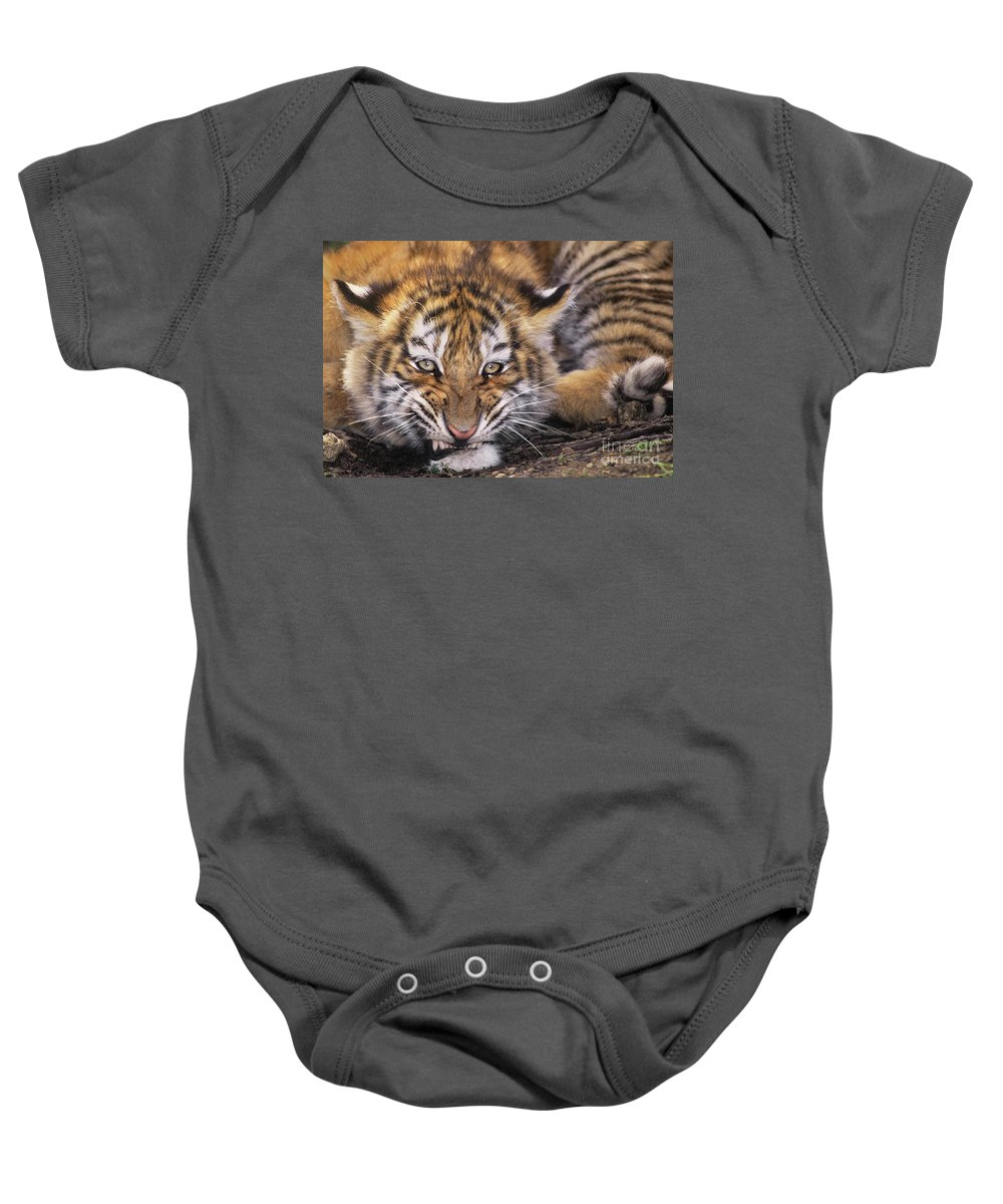 Siberian Tiger Baby Onesie featuring the photograph Siberian Tiger Cub Panthera Tigris Altaicia Wildlife Rescue by Dave Welling