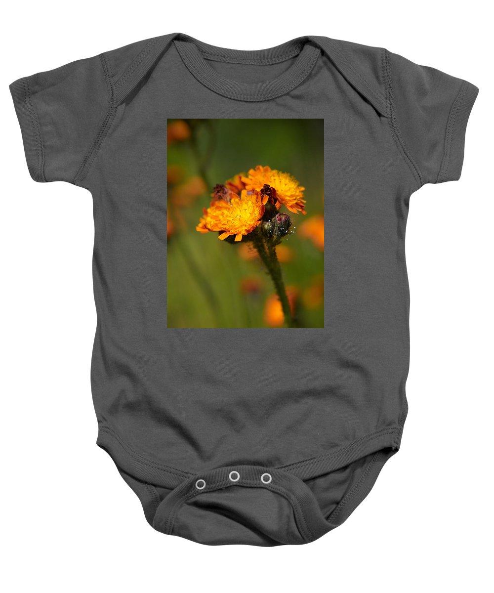 Jouko Lehto Baby Onesie featuring the photograph Orange Hawkweed by Jouko Lehto