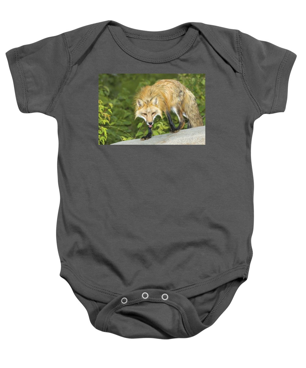 Wild Life Baby Onesie featuring the photograph Red Fox by John Pitcher