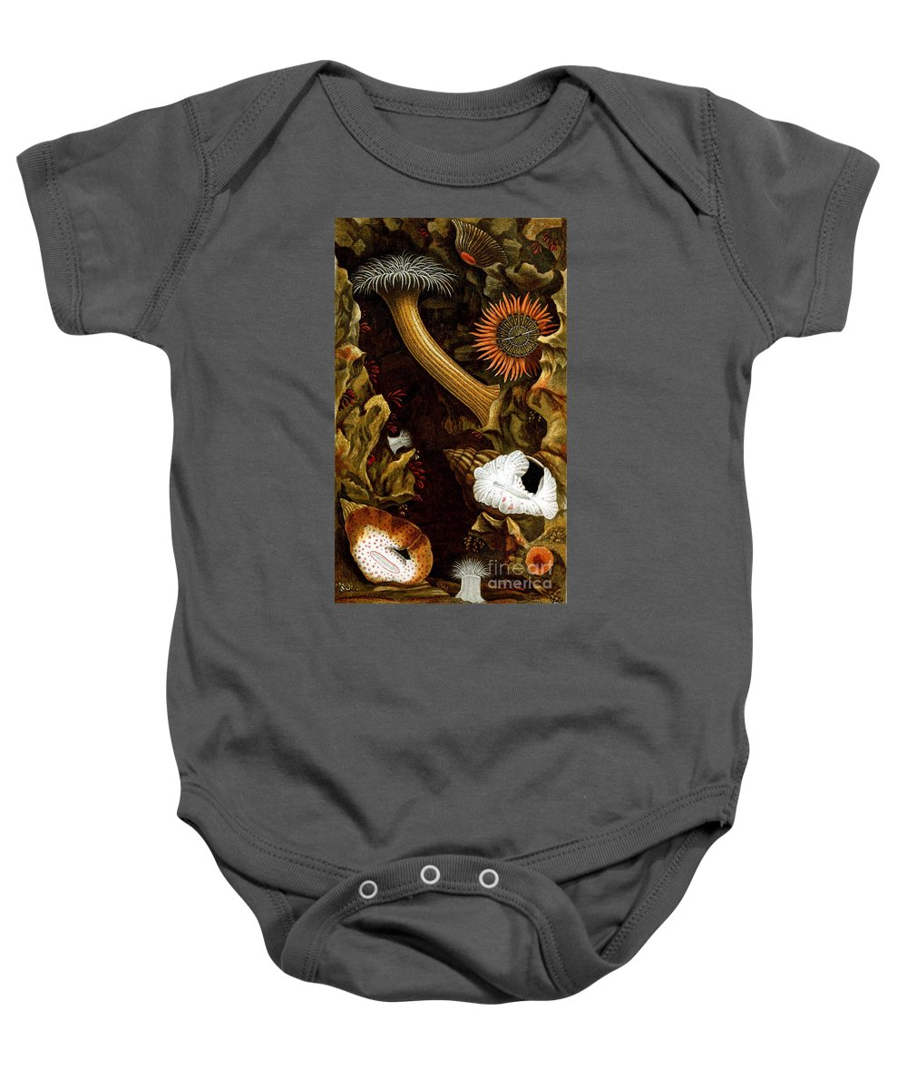 Sea Anemone Baby Onesie featuring the photograph Sea Anemones, 1860 by Biodiversity Heritage Library