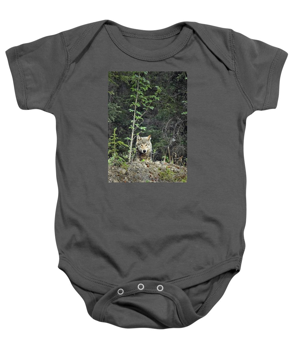 Gray Wolf Baby Onesie featuring the photograph Inspector by Richard Rivard