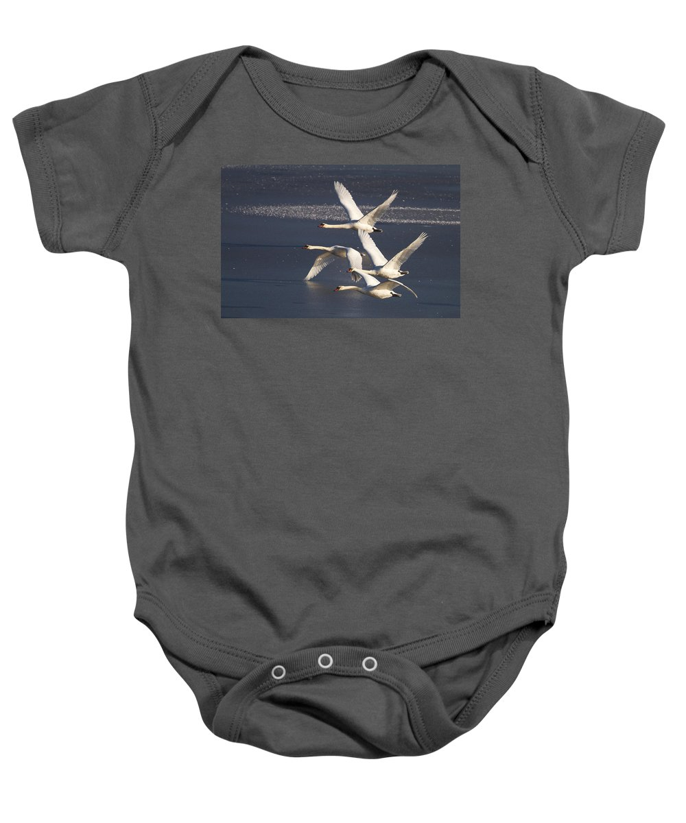Swans Baby Onesie featuring the photograph Mute Swans In Flight by Bob Kemp