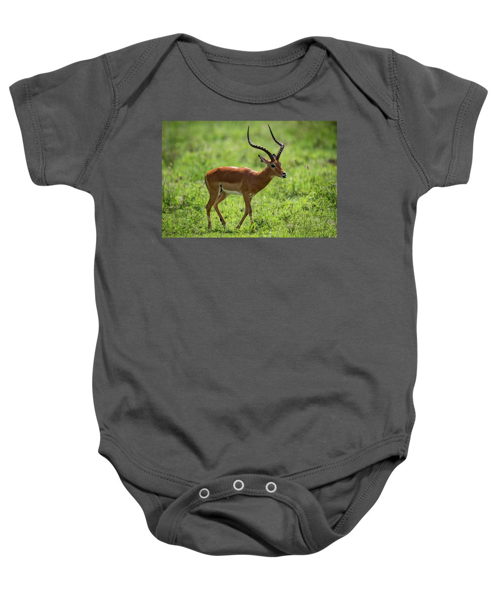 Aepyceros Melampus Baby Onesie featuring the photograph Male Impala Crossing Grassland With Tongue Out by Ndp
