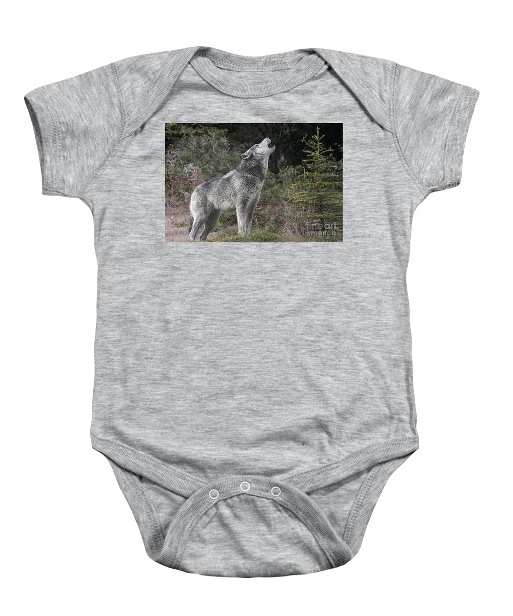 Gray Wolf Baby Onesie featuring the photograph Gray Wolf Howling Endangered Species Wildlife Rescue by Dave Welling