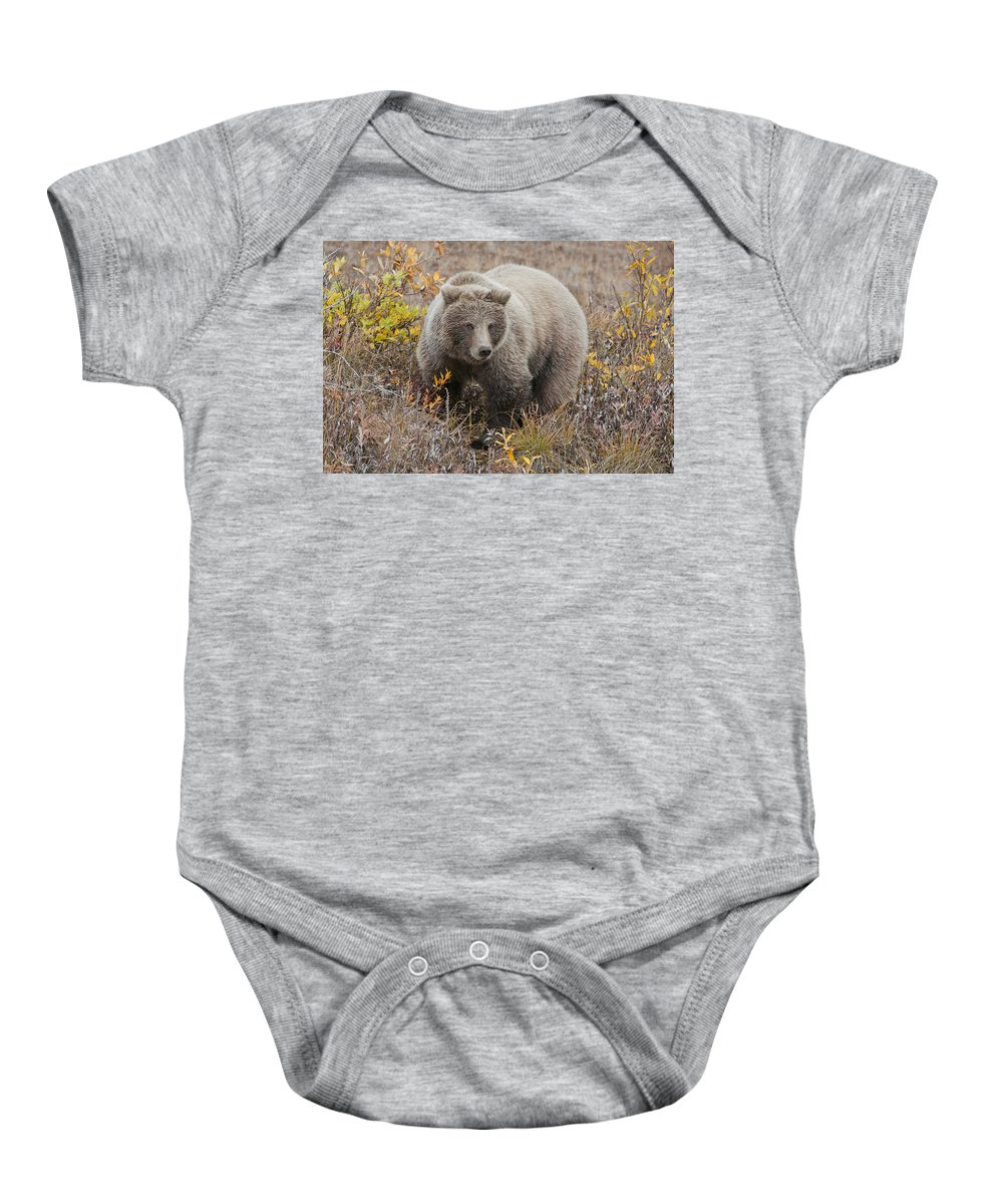 Walking Baby Onesie featuring the photograph Grizzly Amongst Fall Foliage In Denali by Cathy Hart