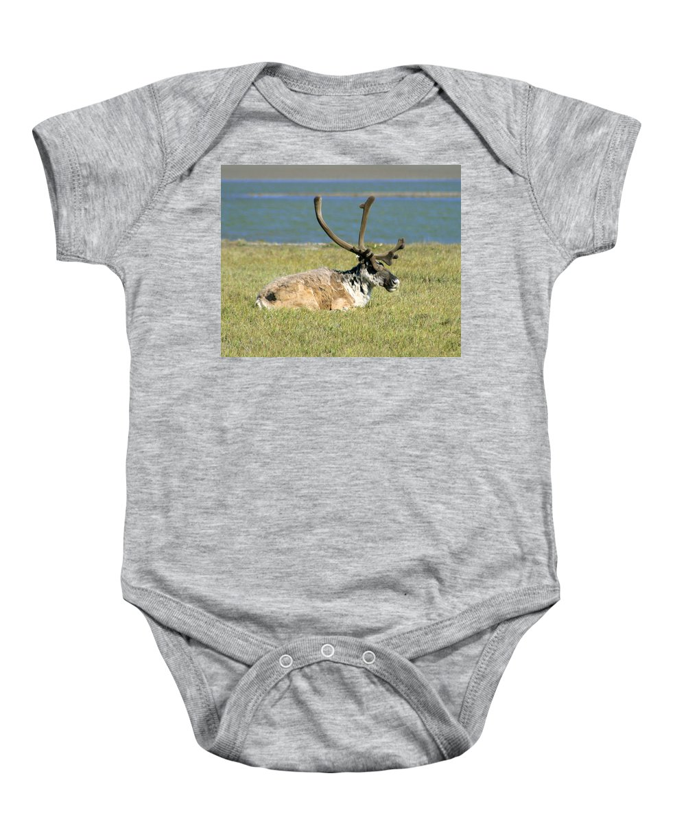 Caribou Baby Onesie featuring the photograph Caribou Resting by Anthony Jones