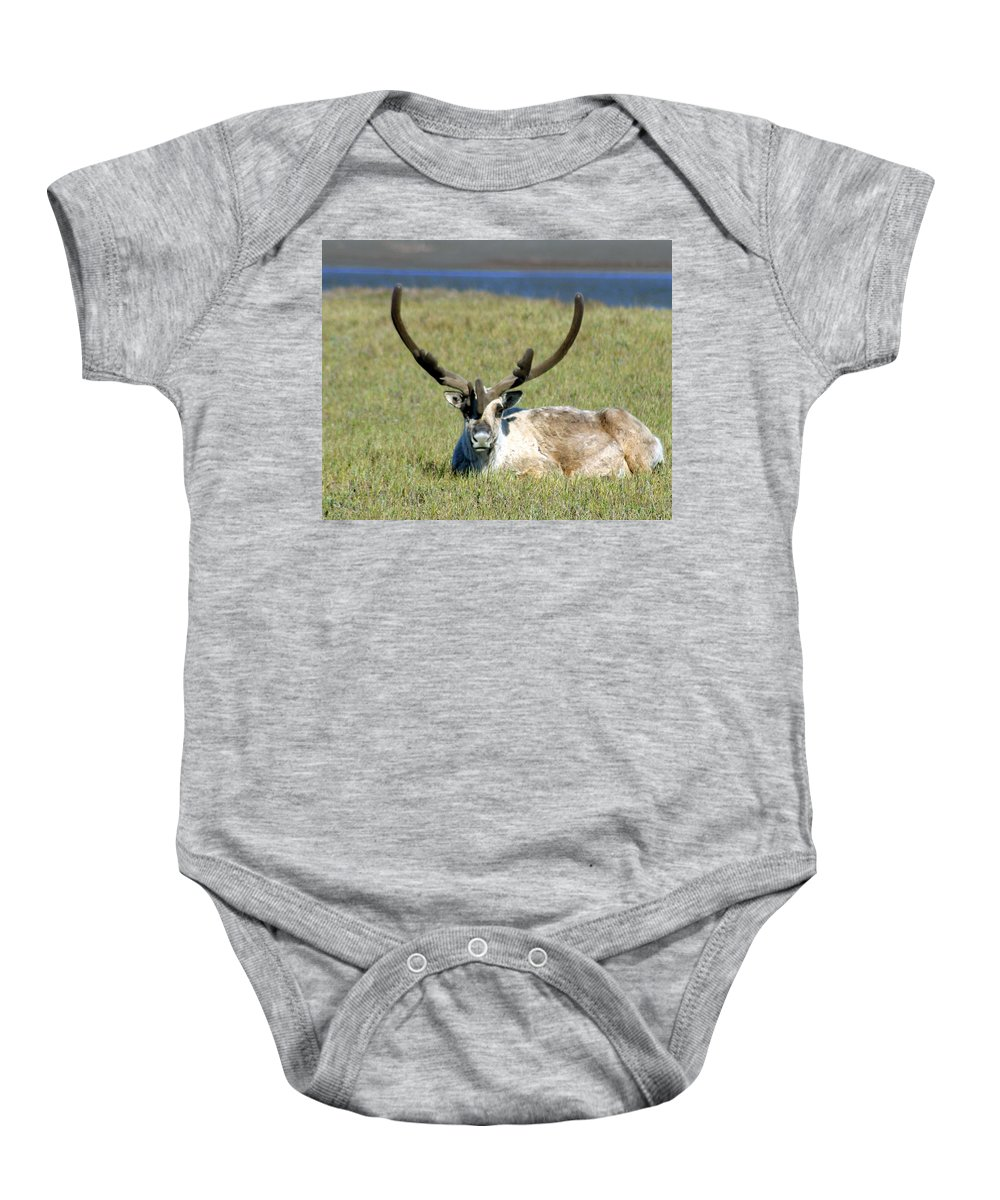 Caribou Baby Onesie featuring the photograph Caribou Resting In Tundra Grass by Anthony Jones