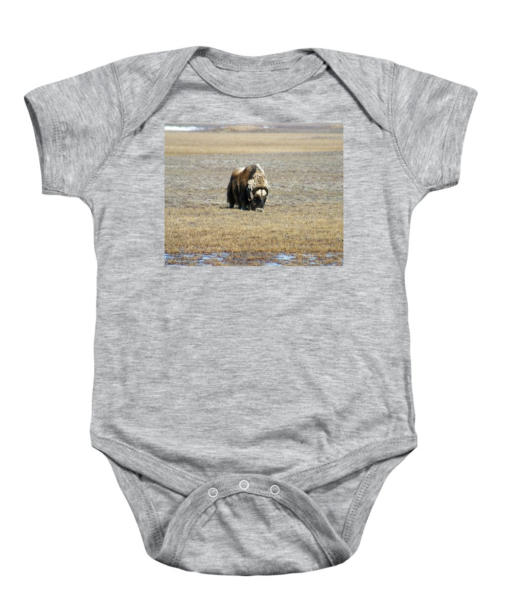 Musk Ox Baby Onesie featuring the photograph Musk Ox Grazing by Anthony Jones