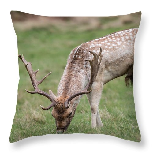 Cervidae Throw Pillow featuring the photograph 01 Fallow Deer by Jivko Nakev