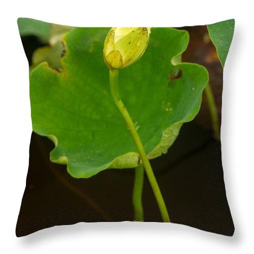 Lotus Throw Pillow featuring the photograph American Yellow Lotus 2 by Douglas Barnett