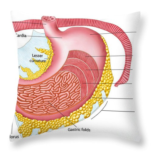 Healthcare Throw Pillow featuring the digital art Anatomy Of The Human Stomach by Stocktrek Images