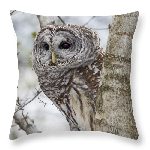 Alba Throw Pillow featuring the photograph Barred Owl by Jack R Perry