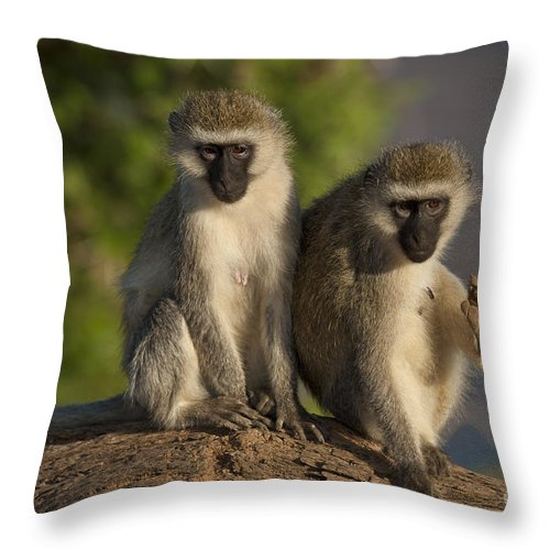 African Fauna Throw Pillow featuring the photograph Black-faced Vervet Monkey by John Shaw