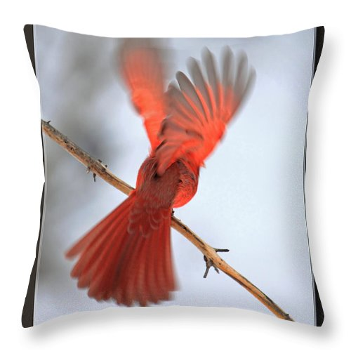 Winter Throw Pillow featuring the photograph Cardinal Launch by PJQandFriends Photography