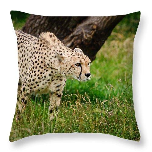 Cat Throw Pillow featuring the photograph Cheetah Acinonyx Jubatus Big Cat by Matthew Gibson