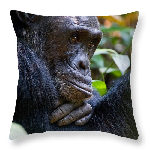 Photography Throw Pillow featuring the photograph Close-up Of A Chimpanzee Pan by Panoramic Images