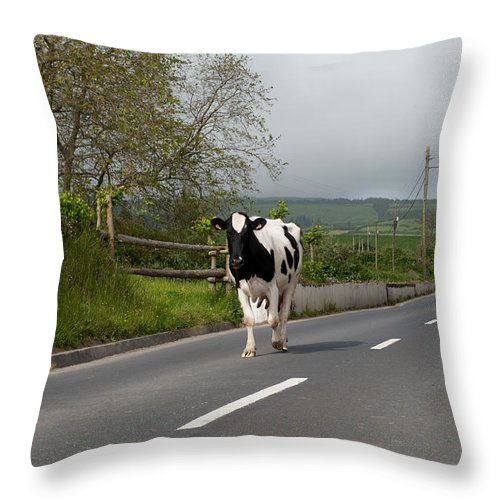Agriculture Throw Pillow featuring the photograph Cow Walks Along Country Road by Joseph Amaral