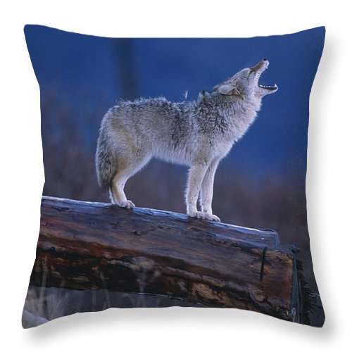 Winter Throw Pillow featuring the photograph Coyote Standing On Log Alaska Wildlife by Doug Lindstrand
