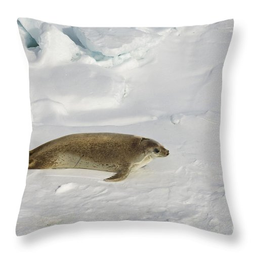 Pack Ice Throw Pillow featuring the photograph Crabeater Seal, Antarctica by John Shaw