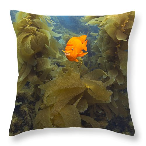 531466 Throw Pillow featuring the photograph Garibaldi In Giant Kelp Forest Catalina by Richard Herrmann