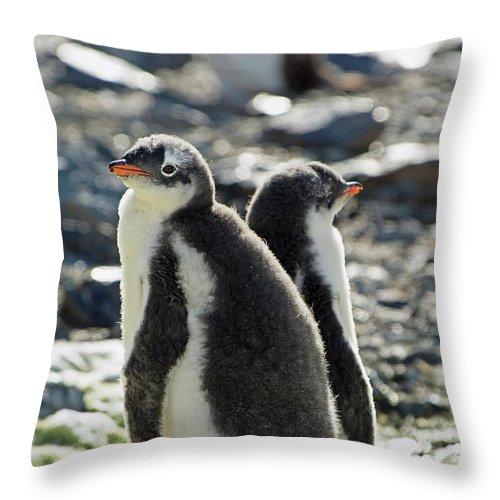 Alertness Throw Pillow featuring the photograph Gentoo Penguins Pygoscelis Papua by Jim Julien / Design Pics