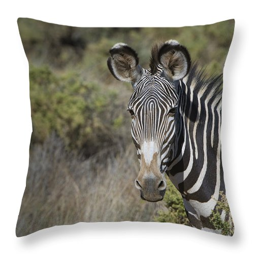African Fauna Throw Pillow featuring the photograph Grevys Zebra Stallion by John Shaw