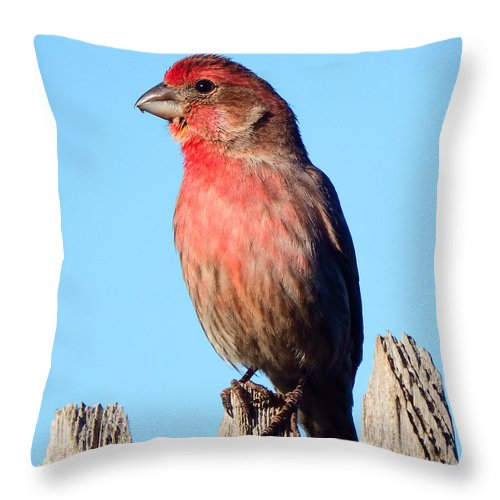 House Throw Pillow featuring the photograph House Finch by David G Paul