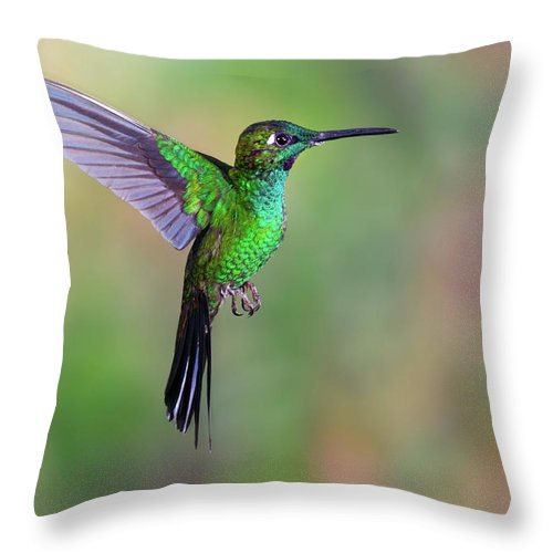 Green-crowned Brilliant Throw Pillow featuring the photograph Hummingbird , Green-crowned Brilliant by Kencanning