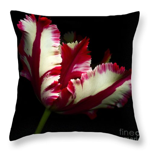 Beauty In Nature Throw Pillow featuring the photograph Red And White Parrot Tulip by Oscar Gutierrez