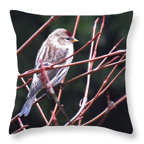 Redpoll Throw Pillow featuring the photograph Redpoll by MTBobbins Photography
