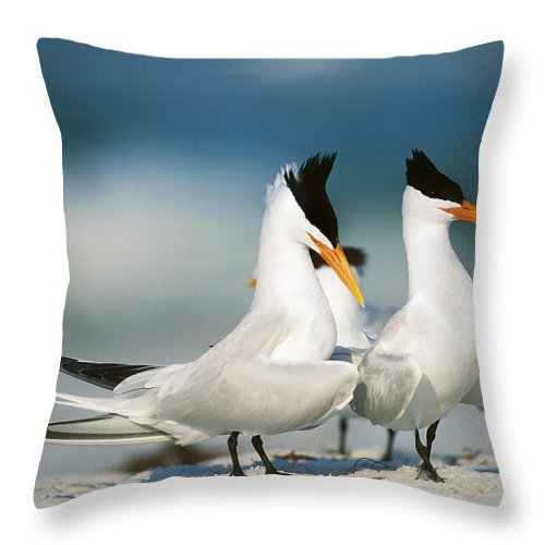 Royal Tern Throw Pillow featuring the photograph Royal Terns by Paul J. Fusco
