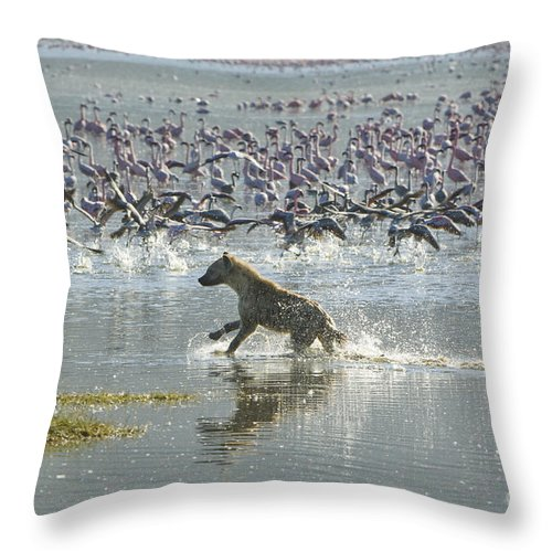 Africa Throw Pillow featuring the photograph Spotted Hyaena Hunting For Food by John Shaw