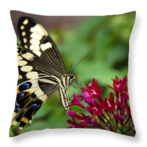 Black And White Butterfly Throw Pillow featuring the photograph Swallowtail Butterfly by Saija Lehtonen