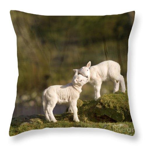 Sheep Throw Pillow featuring the photograph Sweet Little Lambs by Angel Ciesniarska