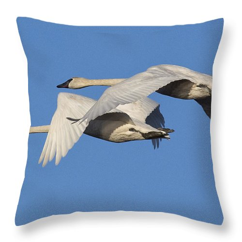 Swan Throw Pillow featuring the photograph Trumpeter Swans by Bob Stevens