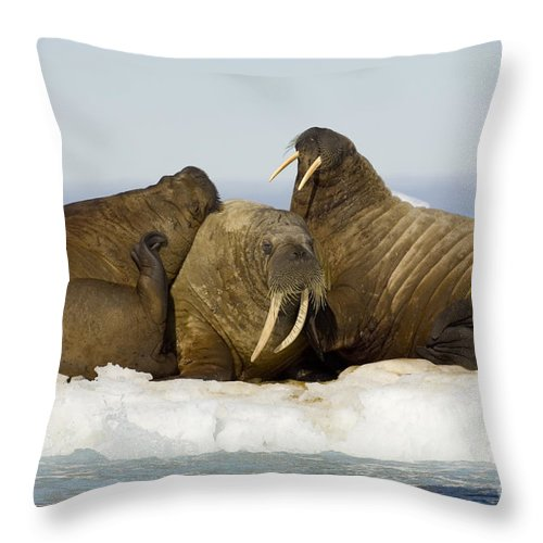 Walrus Throw Pillow featuring the photograph Walruses Resting On Ice Floe by John Shaw