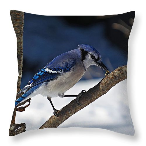 Blue Jay Throw Pillow featuring the photograph Hungry Winter Blue Jay by MTBobbins Photography