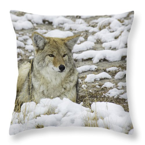 Coyote Throw Pillow featuring the photograph Yellowstone Coyote by Carolyn Fox